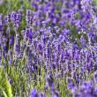 Lavender field — Stock Photo #2204926