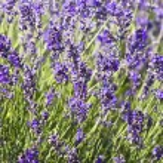 Lavender field — Stock Photo #2204975