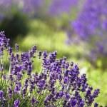 Lavender field — Stock Photo #2205107