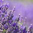 Lavender field — Stock Photo #2205248