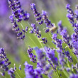 Lavender field — Stockfoto #2205354