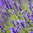 Lavender field — Stock Photo #2205354