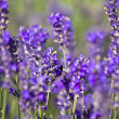 Lavender field — Stock Photo #2205377