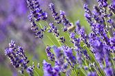 Lavendel veld — Stockfoto