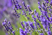 Lavender field — Stockfoto
