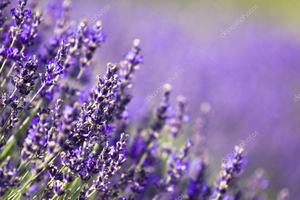Lavender field in the summer  Stock Photo #2205248