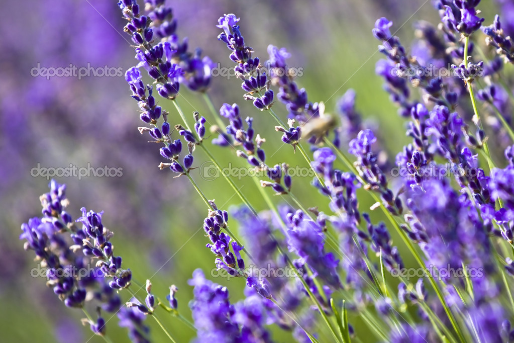 Lavender field in the summer — Stock Photo #2205354