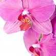 Pink Orchid Isolated on white — Stock Photo #2407147