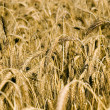 Wheat field — Stock Photo #2408737