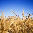 Wheat field — Stock Photo #2408832