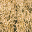 Wheat field — Stock Photo #2409099
