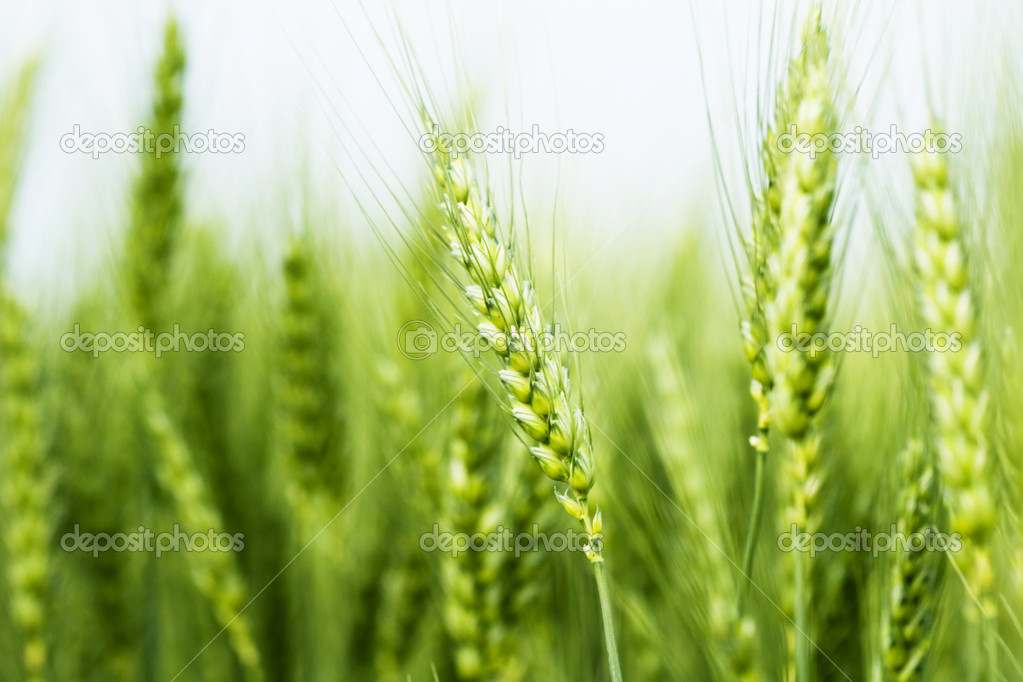 Wheat field — Stock Photo #2407967
