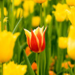 Tulips in the garden — Stock Photo #2435050