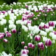 Tulips in the garden — Stock Photo #2435151