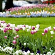 Tulips in the garden — Stok fotoğraf