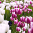 Tulips in the garden — Stock Photo