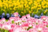 Lale bahçesinde — Stok fotoğraf