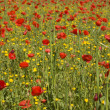 Red poppies — Stock Photo #2111792