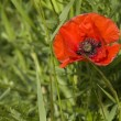 Red poppies — Stock Photo #2112310