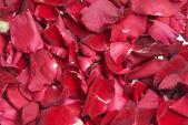 Petali rossi — Foto Stock