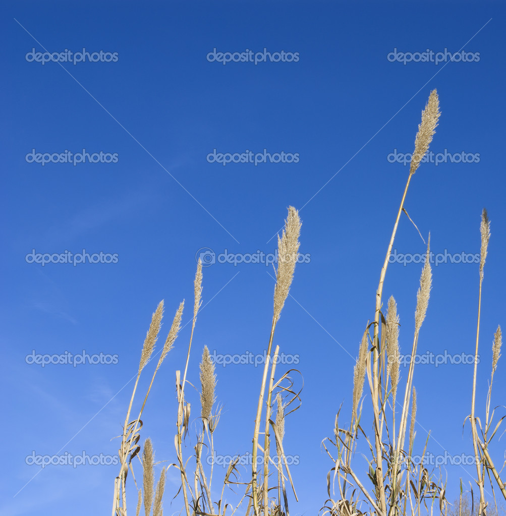 Ears on a blue sky — Stock Photo #2146238