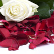 Red petals — Stock Photo