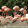Pink flamingos — Stock Photo #2448966