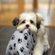 Lhasa Apso puppy — Stock Photo #2057622
