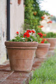 Geraniums in a terracotta pot — Stock Photo