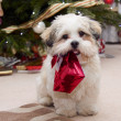 lhasa apso puppy at christmas — Stock Photo
