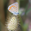 Chalkhill blue butterfly — Stock Photo