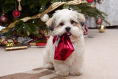 Lhassa apso chiot à noël — Photo