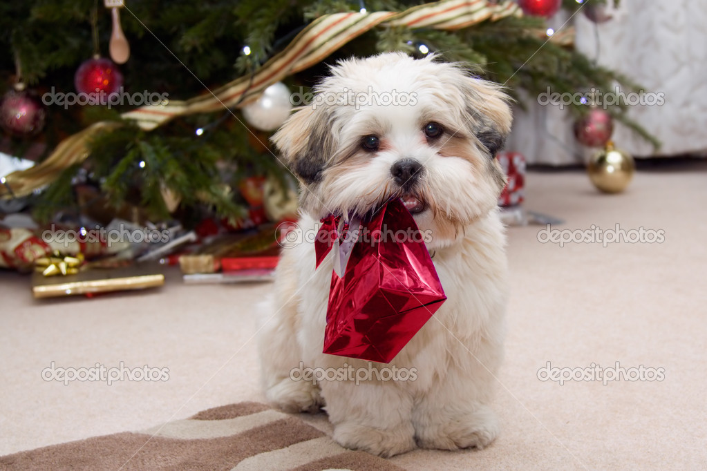 Cute lhasa apso puppy carrying a present — Stock Photo #2219693