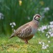 Red-legged partridge — Stock Photo #2259180