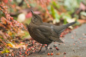 Female blackbird — Stock Photo