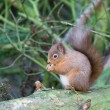 Red squirrel — Stock Photo #2266512