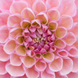 Pale pink dahlia — Stock Photo