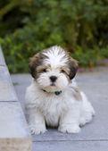 Lhasa apso puppy — Stock Photo