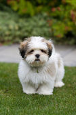 Lhasa apso puppy — Stock Photo