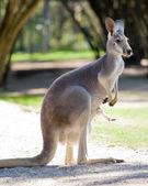 Female red kangaroo — Stock Photo