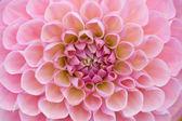 Pale pink dahlia — Stock Photo