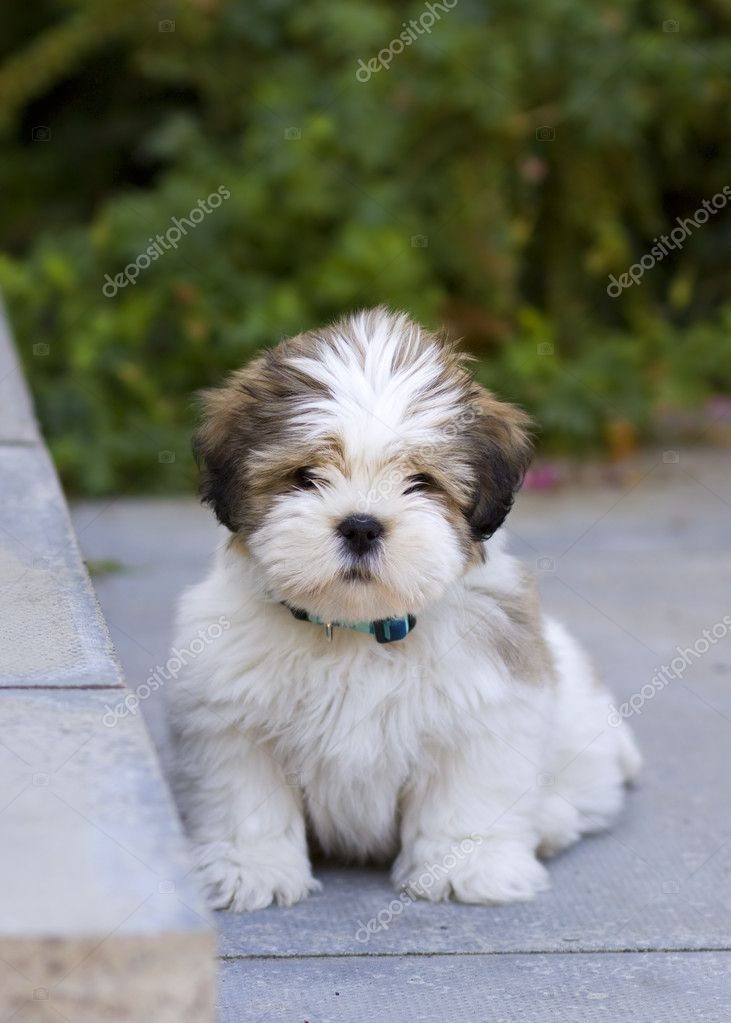 Lhasa apso puppy | Foto Stock © Ruth Black #2262543