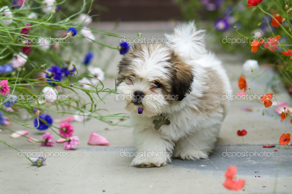 Lhasa apso puppy | Stock Photo © Ruth Black #2263663