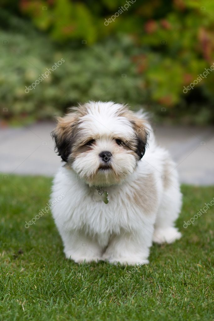 Lhasa apso puppy | Stock Photo © Ruth Black #2265711