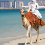 在迪拜朱美拉海滩上的骆驼 — 图库照片