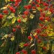 Branches of ripe rowan — Stock Photo