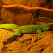Four Spot Day Gecko — Stock Photo