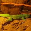 Four Spot Day Gecko - Stock Photo