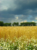 A field of wheat — Stock Photo