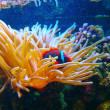 Clown fish and sea anemones — Stock Photo #2631543